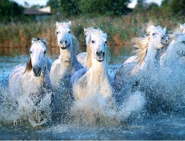 Horde de chevaux camarguais - Chevaux gratuits ...